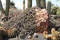 Pájara La Lajita - Oasis Park - Euphorbia baioensis 01 ies.jpg