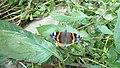 P1070351 Butterfly.jpg