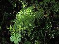 P20140310-0036—Adiantum jordanii—Old Briones Road (13205383563).jpg