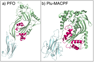 Pore-forming toxin - Image: PFO and Plu MACPF