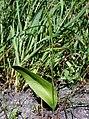 PNBT Ophioglossum vulgatum pokrój 03.07.10 pl.jpg