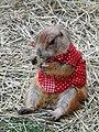 PRAIRIE DOG (แพรี่ด็อก) Photographed by Peak Hora DODSCN0719.jpg