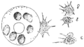 PSM V79 D581 Dimorphic cell swarmers.png