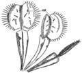 PSM V85 D032 Venus flytrap dionaea muscipula.png