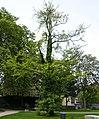 Paderborn - Ginkgo am Haxthausenhof.jpg