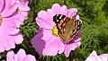 Painted Lady Distelfalter (3960016962).jpg