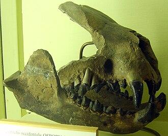 Oxyaenidae - Part of a Palaeonictis occidentalis skull at the Museum für Naturkunde, Berlin