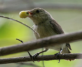 Pale-billed Flowerpecker (Dicaeum erythrorhynchos) with a Muntingia calabura (Singapur cherry) fruit W IMG 8784.jpg