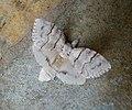 Pale Tussock female. Calliteara pudibunda (32348641130).jpg