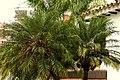 Palma Robelina (Phoenix roebelenii) (12) (14221786929).jpg