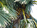 Palmyra Palm (Borassus aethiopum) fruits (11924711585).jpg