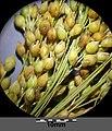 Panicum miliaceum subsp. miliaceum sl4.jpg