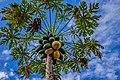 Papaya tree and sky.jpg