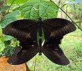 Papilio helenus - Red Helens mating 02.JPG