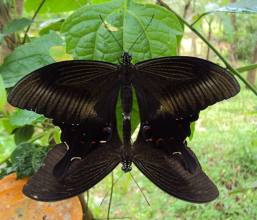 Papilio helenus - Red Helens mating 02