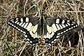 Papilio machaon (46588839265).jpg