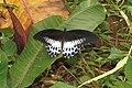 Papilio polymnestor Cramer, 1775 – Blue Mormon at Mayyil (8).jpg