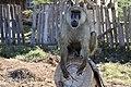 Papio in Kenya 02.jpg