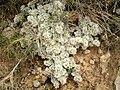 Paronychia aretioides 1.JPG
