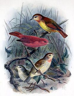 雄鳥及雌鳥(上);雛雄及雌鳥(下)