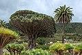 Parque del Drago - Drago de Icod de los Vinos 01.jpg