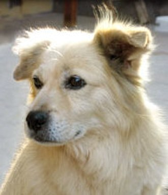 Chiribaya Dog - Peruvian dog thought to look similar to the Chiribaya dog