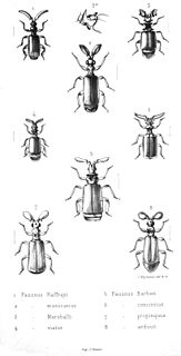 <i>Paussus</i> genus of insects