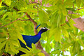 Peacock 01.jpg