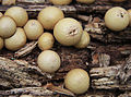 Pear-shaped puffball Lycoperdon pyriforme close.jpg