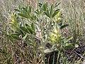 Pediomelum esculentum (Psoralea esculenta) (4016144036).jpg