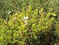 Pelargonium fruticosum KirstenboschBotGard09292010A.jpg
