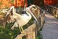 Pelican in Safari.jpg