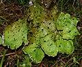 PeltigeraAphtosa20090629.jpg
