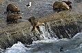 Peninsula Valdes sea lions JF.jpg