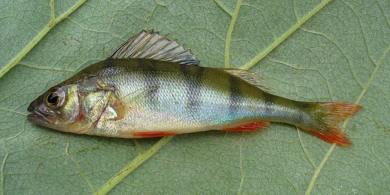 Файл:Perca fluviatilis 2008 G1.jpg