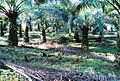 Perkebunan kelapa sawit milik rakyat (83).JPG