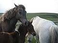 Pferde - panoramio (1).jpg