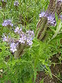 Phacelia tanacetifolia (Boraginaceae) flowers and leaves.JPG
