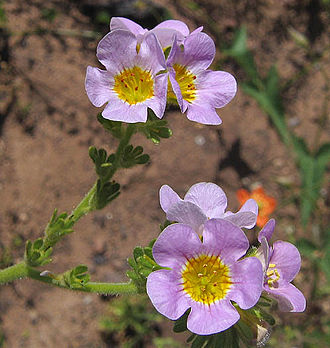 Circle X Ranch - Shortlobe phacelia (Phacelia brachyloba) on the Mishe Mokwa Trail.