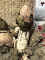 Phallus hadriani 44636322.jpg