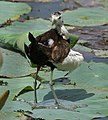 Pheasant-tailed Jacana (Hydrophasianus chirurgus)- Breeding- preening after bath in an Indian Lotus (Nelumbo nucifera) Pond in Hyderabad, AP W IMG 7880.jpg