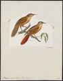Philydor superciliaris - 1820-1860 - Print - Iconographia Zoologica - Special Collections University of Amsterdam - UBA01 IZ19200175.tif