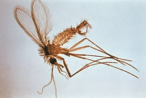 Phlebotomus - A male Phlebotomus fly