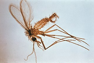 <i>Phlebotomus</i> genus of insects