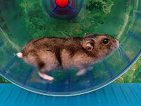Huisdierengids hamster/Huisvesting - Wikibooks