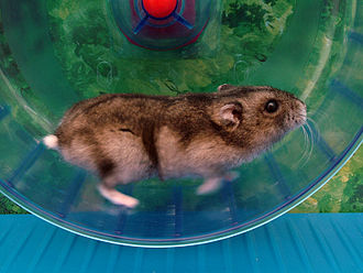 Hamster wheel - Like other rodents, hamsters are highly motivated to run in wheels.