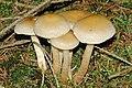 Pholiota.lubrica5.-.lindsey.jpg
