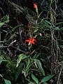 Phragmipedium besseae (1).jpg