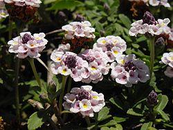 Phyla nodiflora 3 (Corse).JPG