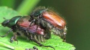 File:Phyllopertha horticola - 2012-06-23.ogv